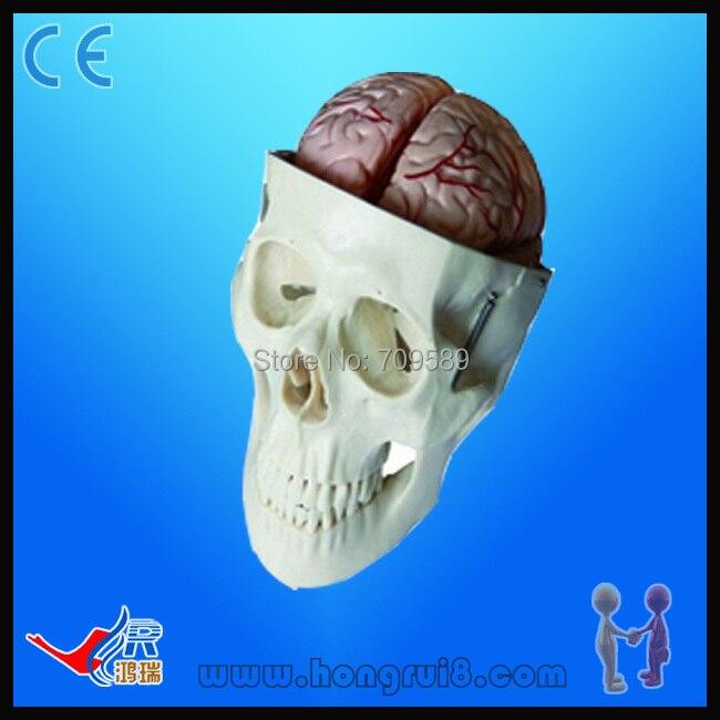 ᐅAvanzado anatomía cráneo médico modelo, life-size cráneo con 8 ...