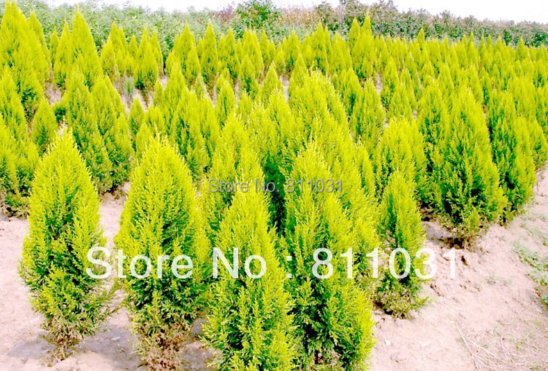 hot selling 100pcs cypress trees seeds conifer seeds diy home garden bonsai tree plant diy free - Trees For Home Garden