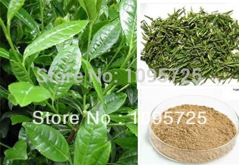 100% Natural green tea extract powder 50% polyphenol