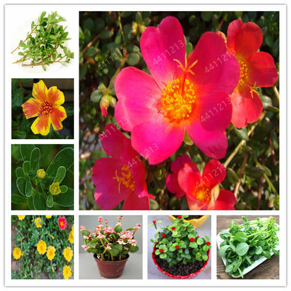100 Pcs Bonsai Portulaca Grandiflora Mixed Color Moss-Rose Purslane Double Flower Plant For Planting Heat Tolerant Easy Growing