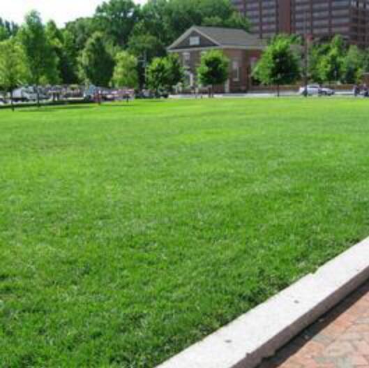 Evergreen Lawn American Tall Fescue Grass Bonsai Resistant