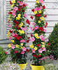20PCS Rare climbing plants Jasmine bonsai amazing smell & beautiful flowers Perennial Decorated home garden