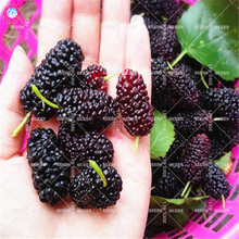 Giant blackberry seeds Organic mulberry fruit tree seeds Perennial bonsai plants for spring farm supplies Best packaging 200pcs