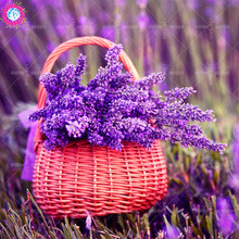 100pcs/bag rare lavender Seeds,Purple Perennial herb pot flower,colorful bonsai plant as gift,potted for home&garden supplies