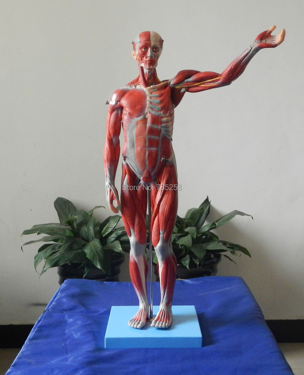 ISO Body Muscles Anatomical Model,Human Muscle Anatomy Teaching Model,Human Muscle Breakdown Model hd hard 60 cm male human acupuncture acupoint model muscle anatomy human body acupuncture point model human acupoints model