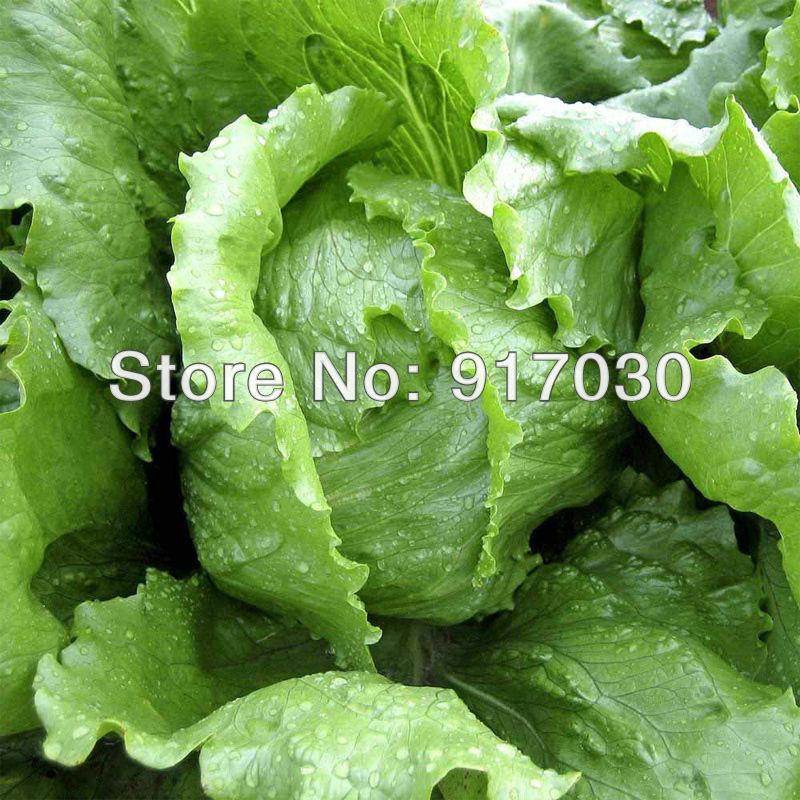 Iceberg Batavian Lettuce Seed * Batavian Lettuce *Organ