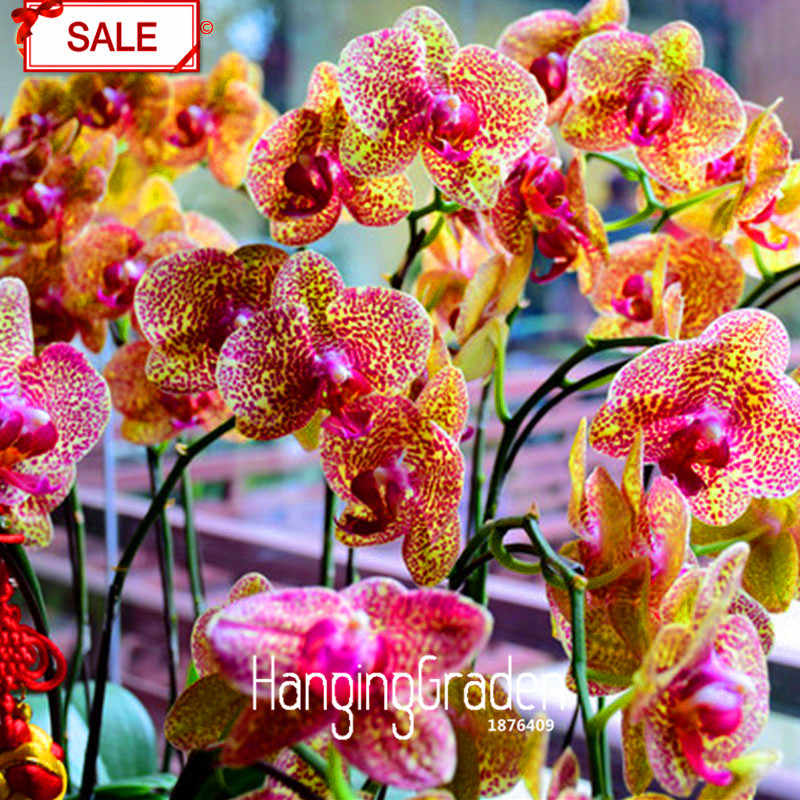 Best-Selling!50Pcs/bag Yellow Phalaenopsis bonsai Perennial Flowering Plants Potted Orchids Flowers & Detail Feedback Questions about Best Selling!50Pcs/bag Yellow ...
