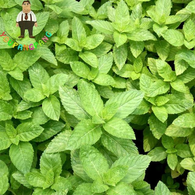 400 Pcs Peppermint Mint Mentha plants Garden Bonsai Vanilla Plants (great Tea Medicinal Cosmetic) bonsai Indoor Plants Flowers P