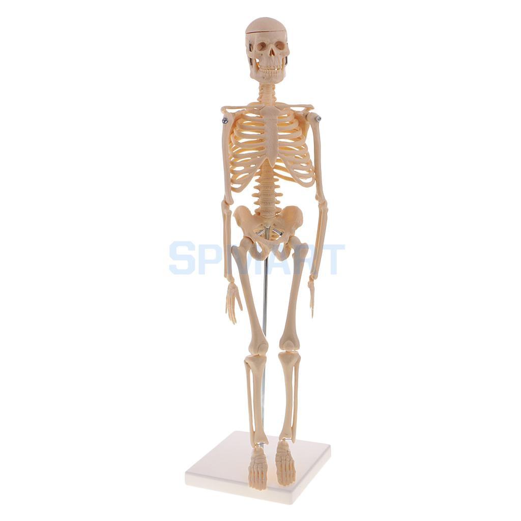 45cm Highly Detailed Pvc Human Body Skeleton Model Set For School