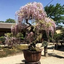 garden flower seedsplants bonsai tree Wisteria Vine saplings upscale vegetable plants bonsais 5pcs