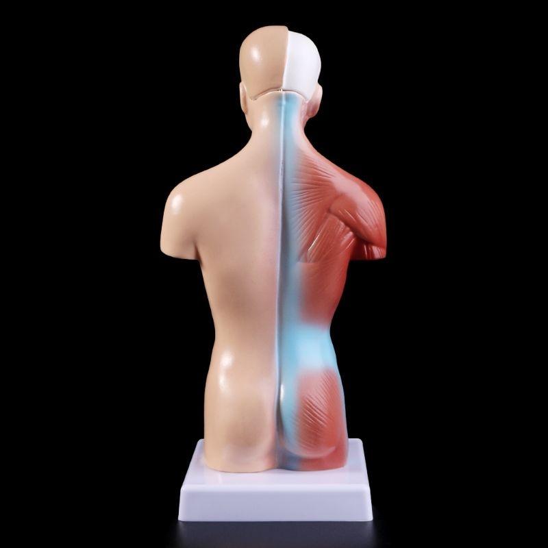 Modelo anatômico do corpo de torso humano, modelo de corpo anatômico para órgão médico interno para ensino, estoque na fonte 4