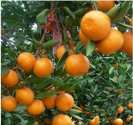 30 Pieces /Bag Hot Selling Bonsai Sweet Orange Tree Seeds Organic ...