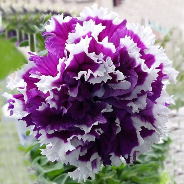100 pz/borsa Rare petunia bonsai, fiori di petunia, bonsai fiore flores, esotico piantare petunia crescita Naturale per la casa giardino