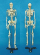 Padrão Medical 65 cm Corpo Humano Modelo de Esqueleto Manequim Hi-Q Médico esqueleto Esqueleto do Osso Humano Anatomia Médica modelo