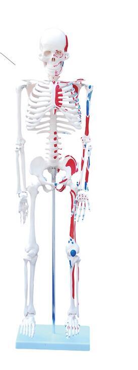 Body skeleton model Structural skeleton heart Blood vessels Neurology 85cm Skeleton model-GASENHN-003 цена