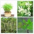 15 unids/bolsa semillas De Moringa moringa oleifera moringa semillas del árbol, semillas comestibles BAQUETA ÁRBOL bonsai en maceta de plantas para el jardín de su casa