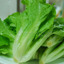 400  delicious  Lettuce Romaine Parris Island Cos Certified Organic Seeds