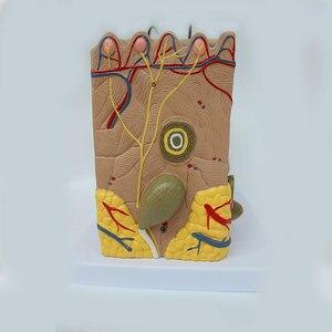 Image 3 - 50 keer 24x23x11 cm Menselijke Huid en Haar Structuur Vergroten Model Skin Layer Structuur Model Menselijks Skelet Anatomisch Model
