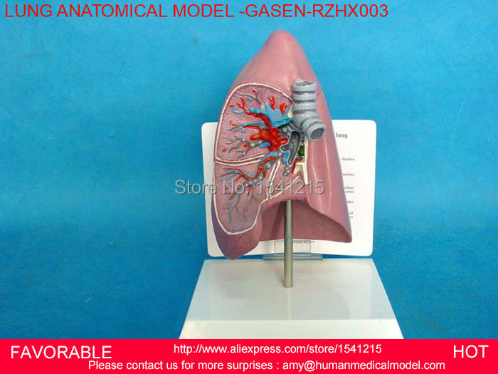 PATHOLOGY LUNG MODEL, DEPARTMENT OF INTERNAL MEDICINE MODEL,PULMONARY ANATOMY,RESPIRATORY SYSTEM MODEL,LUNGS MODEL-GASEN-RZHX003 1 6 scale rifle gun model for 12 inches action figure accessories collections x80028 m700pss x80026 psg1