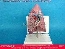 PATHOLOGY LUNG MODEL, DEPARTMENT OF INTERNAL MEDICINE MODEL,PULMONARY ANATOMY,RESPIRATORY SYSTEM MODEL,LUNGS MODEL-GASEN-RZHX003