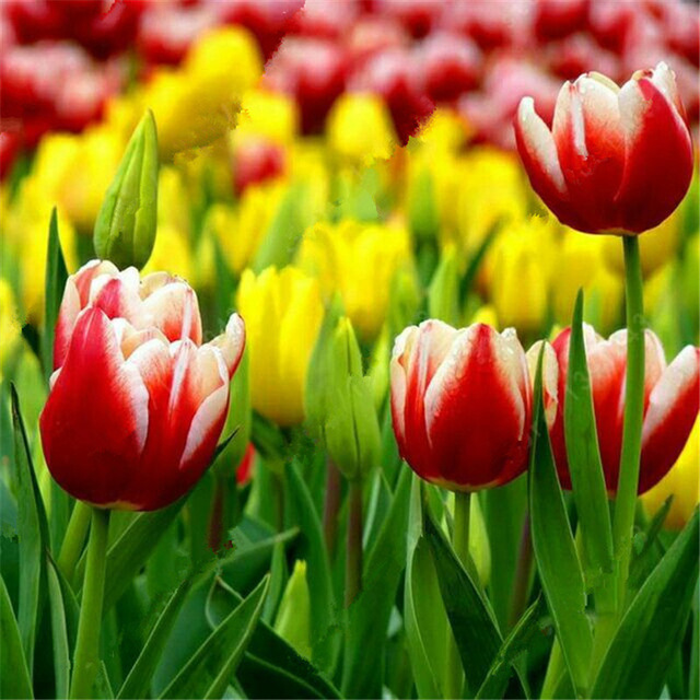 Tulip Seeds, Colorful Tulipa Gesneriana Flower Seeds, 100pcs/pack