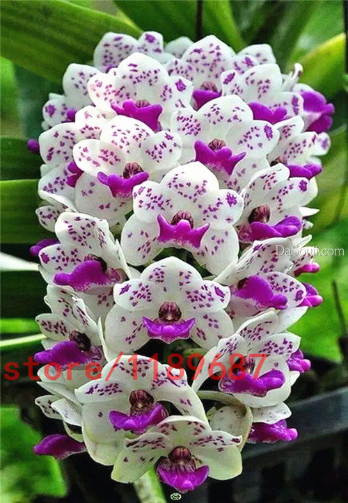 100pcs cymbidium orchid, orchid cymbidium, cymbidium seeds, bonsai flower seeds, potted DIY plant for home & garden