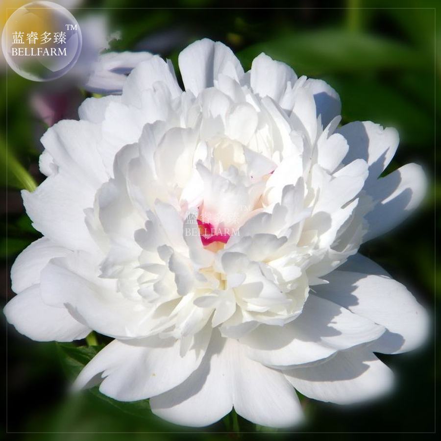 Bellfarm bajiga purely white bonsai tree peony flowers little bellfarm bajiga purely white bonsai tree peony flowers little purple spot close to centre flowe 5pcspack big double petals in bonsai from home garden mightylinksfo