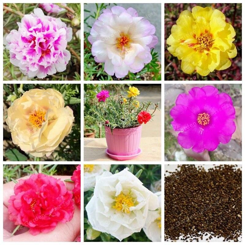 100 шт. Portulaca цветок бонсай DIY домашний сад бонсай цветок Portulaca крупноцветковая бонсай DIY завод легко выращивать горшечных растений