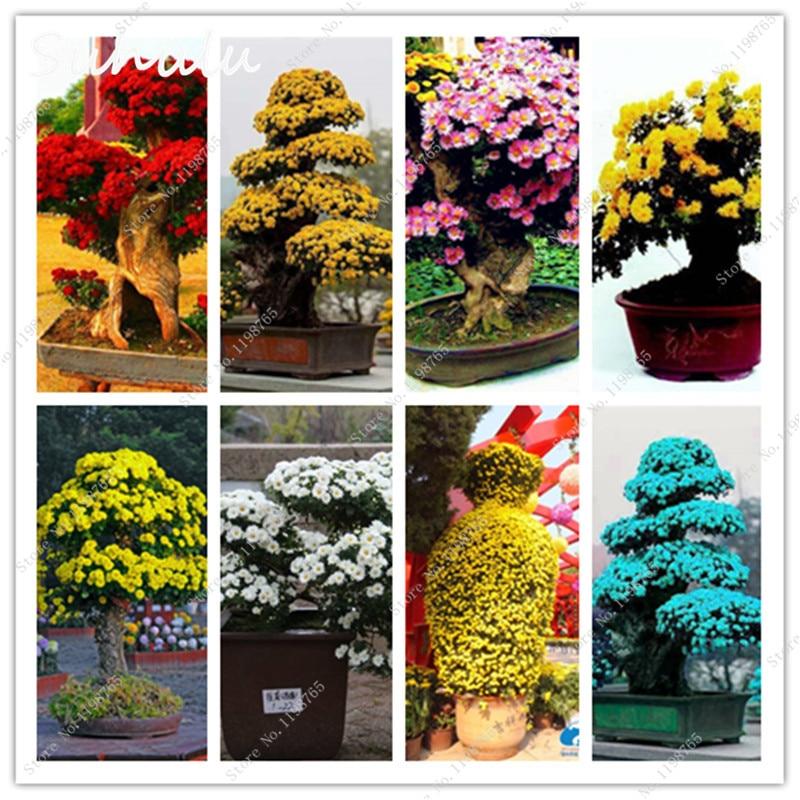 20 Pcs Mixed Chrysanthemum Flower Seeds Gazania Seeds,Sunflowers Africa Splendens Chrysanthemum Seeds Indoor Bonsai Tree