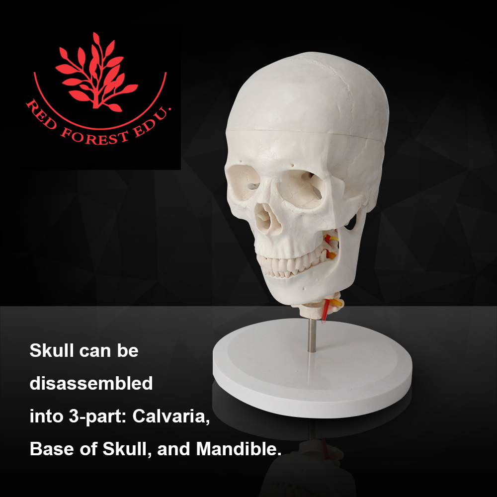 Medical Anatomy Functional life Size Skull model with Cervical Spine ...