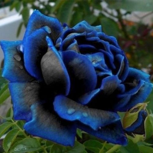 Exotic flowers Black Rose seeds, 50pcs decorative garden, beautify the courtyard, peculiar plant decoration