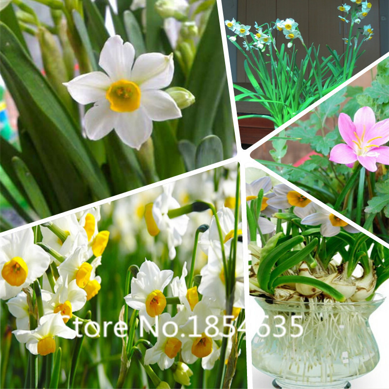 Garden Plant Flower seeds Plants Daffodil Seeds Absorp