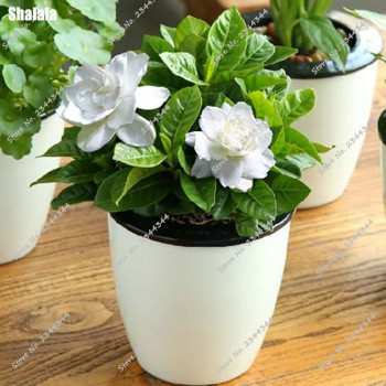 100pcs white jasmine shrub flower seeds sweet smell gardenia bonsai 100pcs white jasmine shrub flower seeds sweet smell gardenia bonsai seeds for home garden plant mightylinksfo