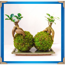 30 pcs Ficus Ginseng Chinese Roots Sementes Bonsai Chinese Kung Fu plant tree seeds and 100 pcs Green grass ball seeds gift