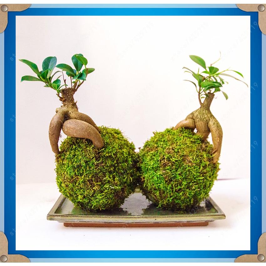 online kaufen gro handel bonsai ficus ginseng aus china. Black Bedroom Furniture Sets. Home Design Ideas