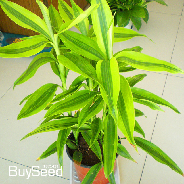 New Arrival 100 Pcs Phnom Penh Dracaena Seeds Potted Balcony Lucky Bamboo Plants Radiation Absorption Stem Plant Wuq16h