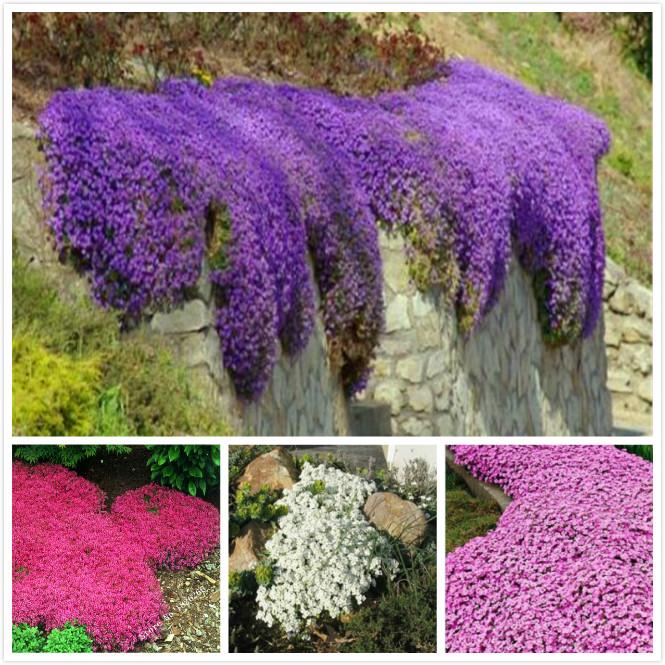 exceptional fleur couvre sol vivace 14 plante grimpante. Black Bedroom Furniture Sets. Home Design Ideas