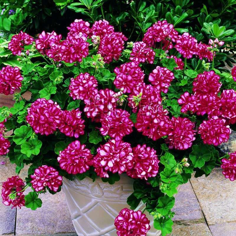 Rare100 Pcs Geranium Bonsai Flower Plant Pelargonium Geranium Flower Potted Plants Purify the Air Natural Growth for Home Garden