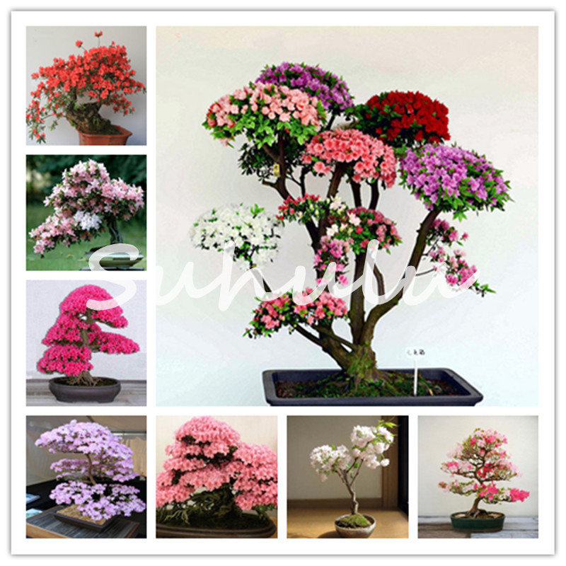 Rare Sakura Bonsai Flower Dwarf Japanese Cherry Blossoms Tree Cherry Blossom Bonsai Plants For Home Garden Bonsai 10 Pcs