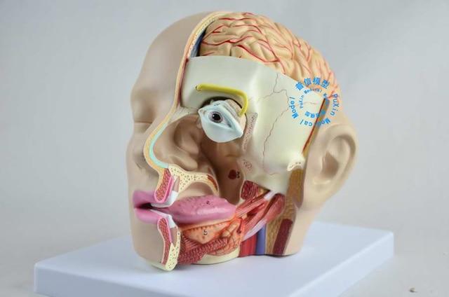Freies verschiffen & Kopf anatomie modell von gehirn modell 4 teile ...