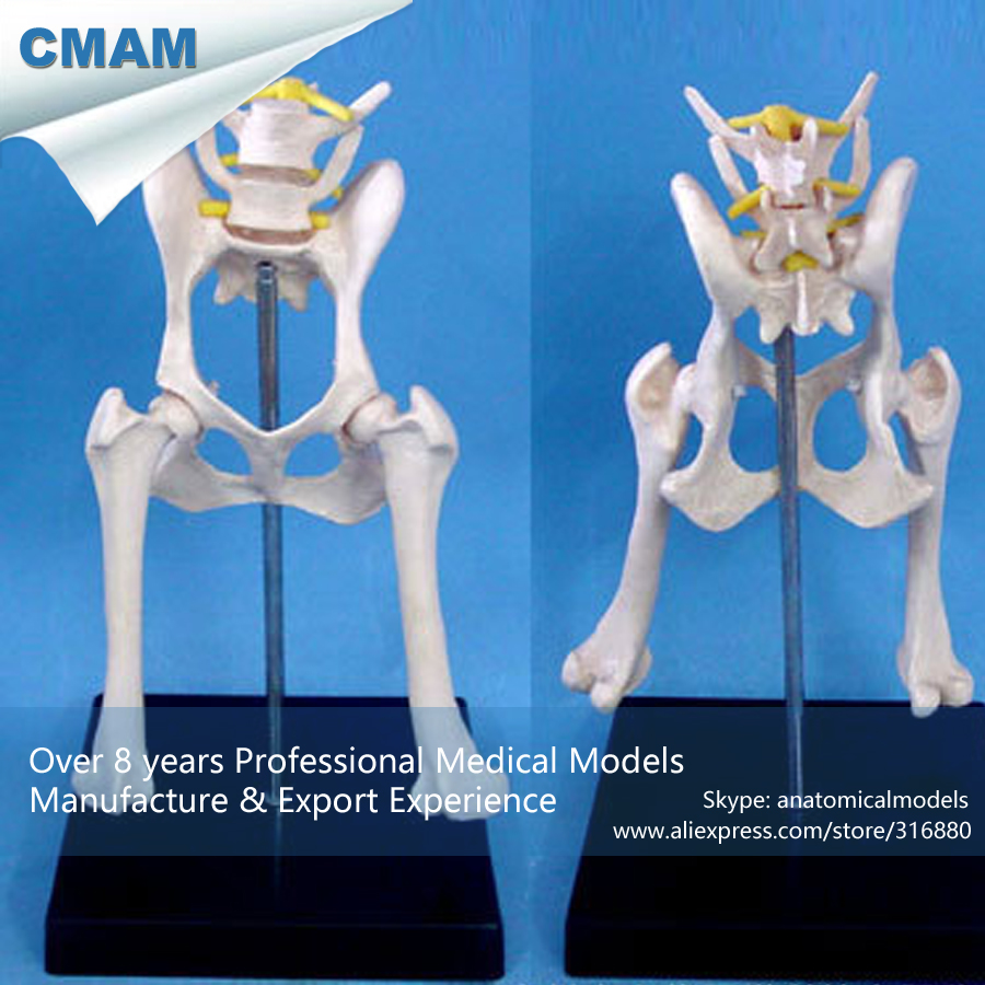 CMAM A20 Anatomical Canine Model / Dog Pelvis Hip Model Medical ...