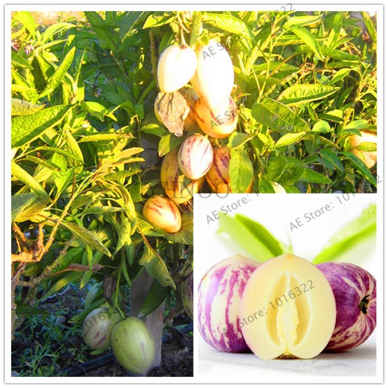 101 Mini Sweet Melon Bonsai Melon Tree Non GMO-Organic Fruit And Vegetable Plant For DIY Home Garden.