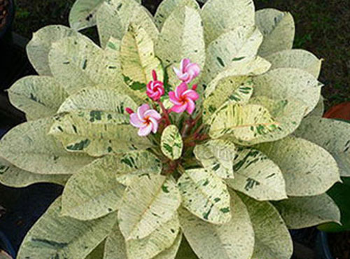 buy plumeria rubra frangipani seed rare. Black Bedroom Furniture Sets. Home Design Ideas