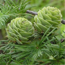 50 Pcs Bonsai Larch Pine Tree Plants For Home Garden Potted Perennial Larix Gmelinii Tree Plant In Flower Pot Fast Growing Tree(China)
