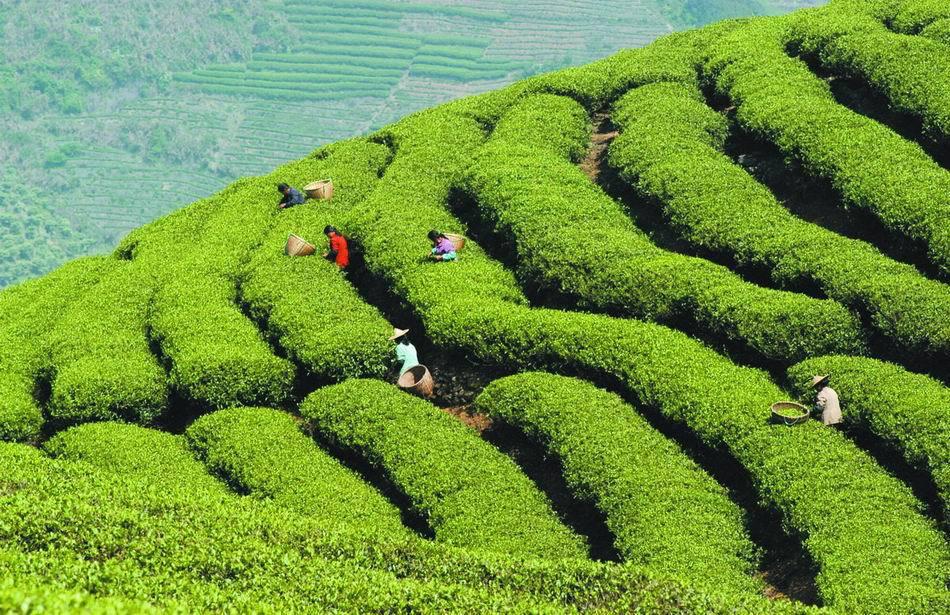 Зеленый органический чай фото