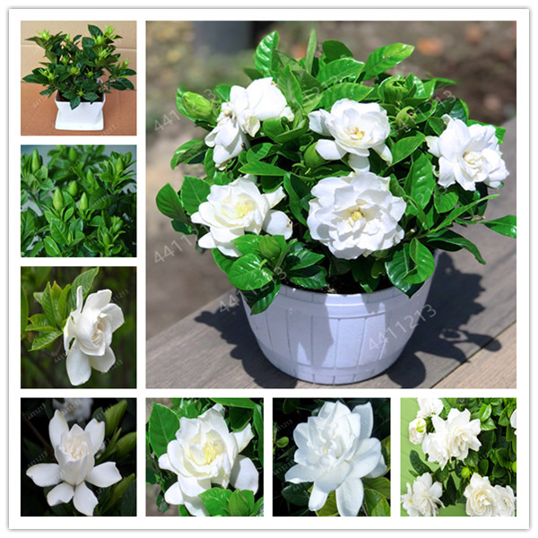 100 Pcs Bonsai Gardenia (Cape Jasmine )-DIY Home Garden Potted Plants, Amazing Smell & Beautiful Flowers For Room