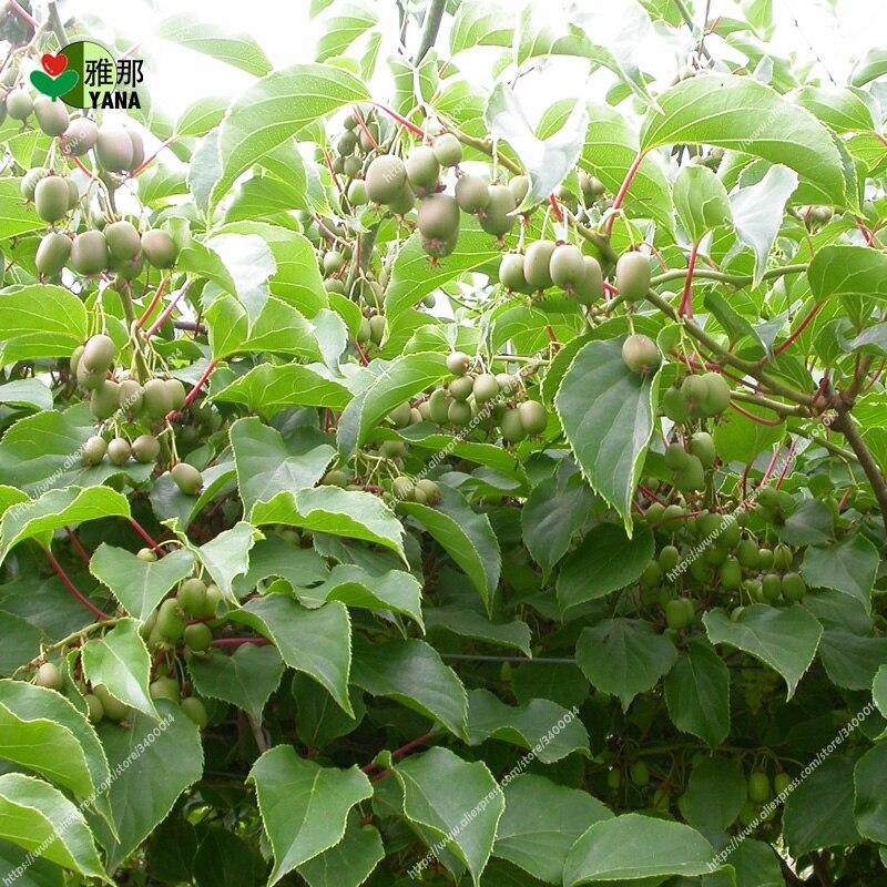 200pcs bag mini Arguta kiwi kiwi tree fruit for miniature garden Arguta kiwi plant for home garden seeds in Bonsai from Home Garden