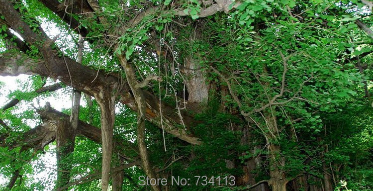 Ginkgo Plant Ginkgo biloba-producten - Tuinbenodigdheden