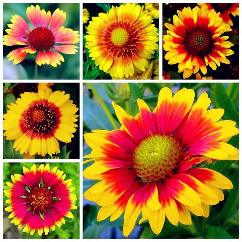 100 قطعة/الحزمة أقحوان بونساي Gaillardia Pulchella نادر الجمال الزهور رائع اللون تزهر المنزل حديقة فلور زراعة