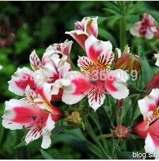 5pcs/lot Peruvian Lily (Alstroemeria Hybrida ) seed bea